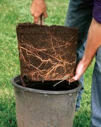 Plantare radacini nude sau balot