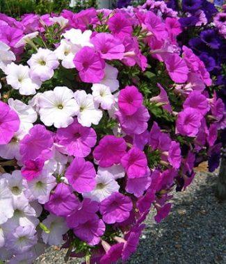 Plantari flori anuale si perene