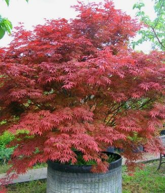 Artar japonez (Acer Palmatum Bloodgood)