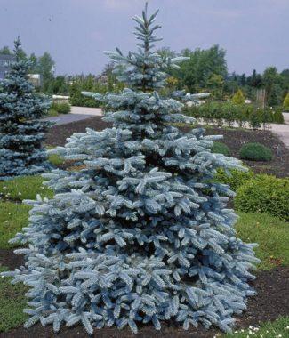 Molid Argintiu (Picea Pungens)