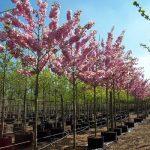 Prunus Kanzan1