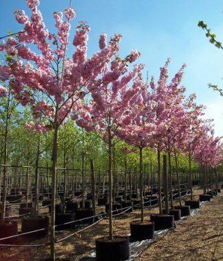 Cires Japonez (Prunus Serrulata Kanzan)